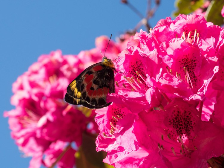 Rhododendron and Butterfly Australia