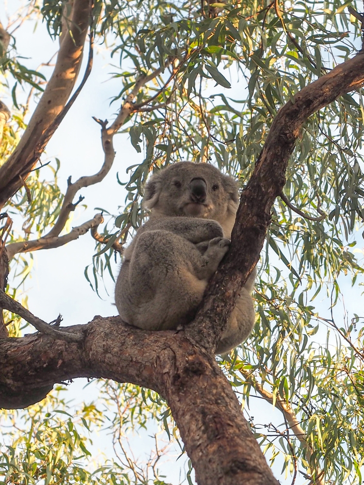 Koala in natural habitat Victoria Australia